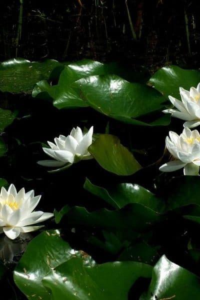 image of lotus flowers