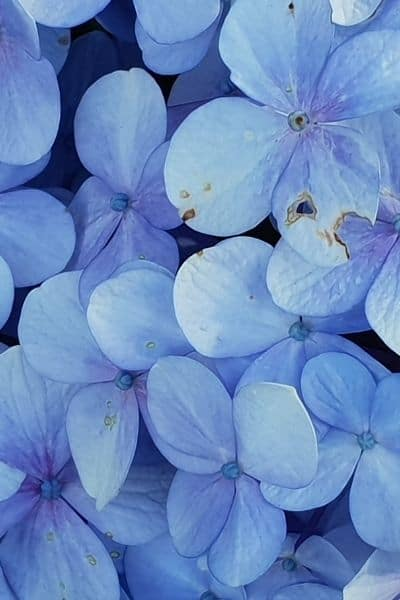 image of forget me not flowers