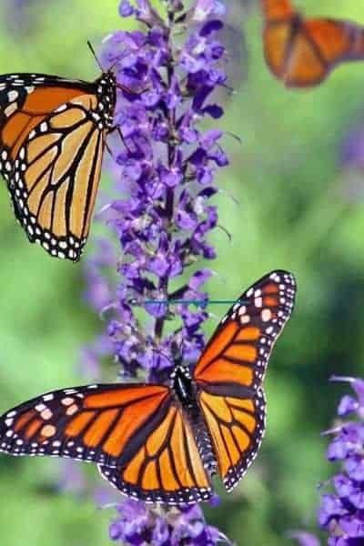 image of monarch butterflies